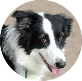 Molly the Border Collie that was a rescue from the local shelter.