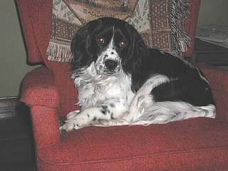 Charlie the Springer Spaniel that was a rescue dog that came from the shelter when he was very sick.