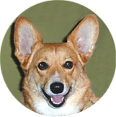 PJ the Welsh Corgi that belongs to Patricia Walter