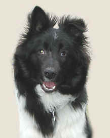Robbie the blind sheltie who belongs to Patricia Walter