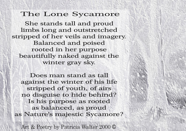 the-lone-sycamore-2000
