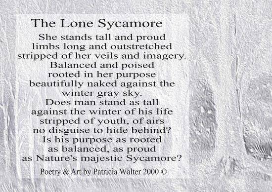 the-lone-sycamore-2000b